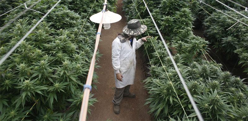 Cannabis  photo: Nir Elias, Reuters